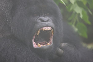 gorilla, teeth, www.davesimpsonsafaris.com, rwands, misties,