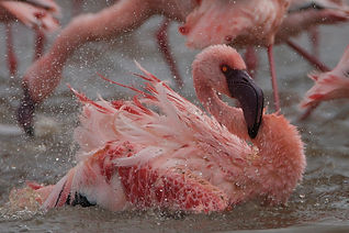 www.davesimpsonsafaris.com, Kenya, camping, safari, great, fun, private, exclusive, flamingo, bathing, Nakuru park, pink