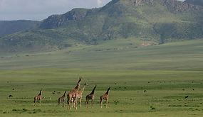 www.davesimpsonsafaris.com, Tanzania, safari, adventure, fun, Giraffe
