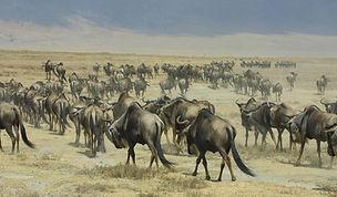 Tanzanina, Ngorongoro crater, www.davesimpsonsafaris.com, safai, camping, wildebeest