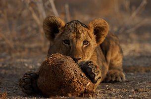 www.davesimpsonsafaris.com, Kenya, camping, safari, great, fun, private, exclusive, Meru, lion, cub, playing