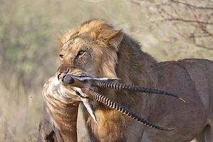 Grant's, lion, kill, www.davesimpsonsafaris.com, Kenya, Baffalo Springs, safari, camping