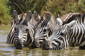 www.davesimpsonsafaris.com, Tanzania, safari, adventure, fun, zebra, drinking