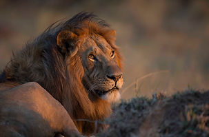 www.davesimpsonsafaris.com, Kenya, camping, safari, great, fun, private, exclusive, lion, male, Maasai Mara