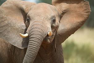 elephant, Tanzania, www.davesimpsonsafaris.com, safari, camping