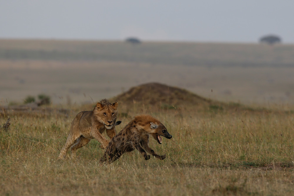 """This young male lion makes chase on this hyena, who is """"laughing"""" all the way :))) Take in the Maasai Mara, Kenya - Feb 2018"""