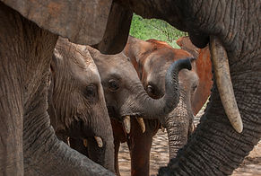 www.davesimpsonsafaris.com, Kenya, camping, safari, great, fun, private, exclusive, Ithumba, elephants, orphans