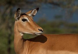 www.davesimpsonsafaris.com, Tanzania, safari, adventure, fun, impala