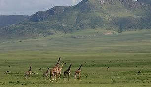 Giraffe, space, plain, Angata Kiti, Tanzania, green, grass, short, Maasai, www.davesimpsonsafaris.com