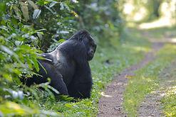 www.davesimpsonsafaris.com, Uganda, safari, adventure, Bwindi, gorillas, trekking