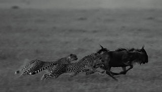 chase, kill, www.davesimpsonsafaris.com, safari, camping, Kenya