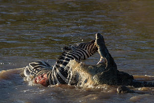 www.davesimpsonsafaris.com, Kenya, camping, safari, great, fun, private, exclusive, crocodile, fight, zebra, death, river, Maasai Mara.