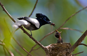 www.davesimpsonsafaris.com, Kenya, camping, safari, great, fun, private, exclusive, paradise fly catcher, white phase, Baringo, feeding young.