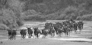 migration, Maasai Mara, www.davesimpsonsafaris.com, camping, safari, Kenya, migrating, wildebeest, running.
