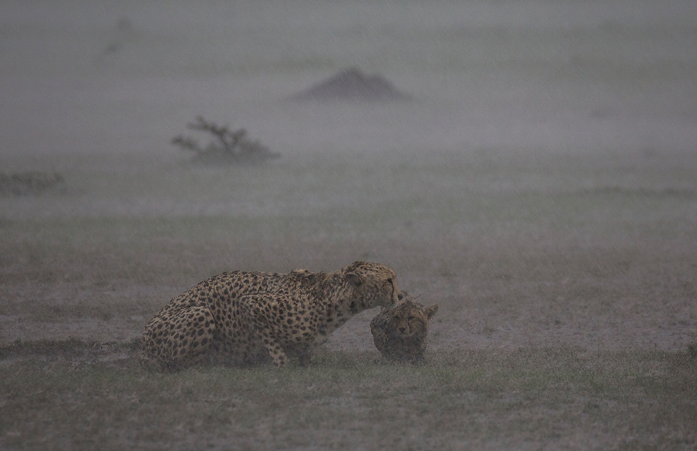 This mother and cub were caught in a storm in the Mara, an amazing sight to see.