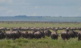www.davesimpsonsafaris.com, Tanzania, safari, adventure, fun , vast, herds, wildebeest