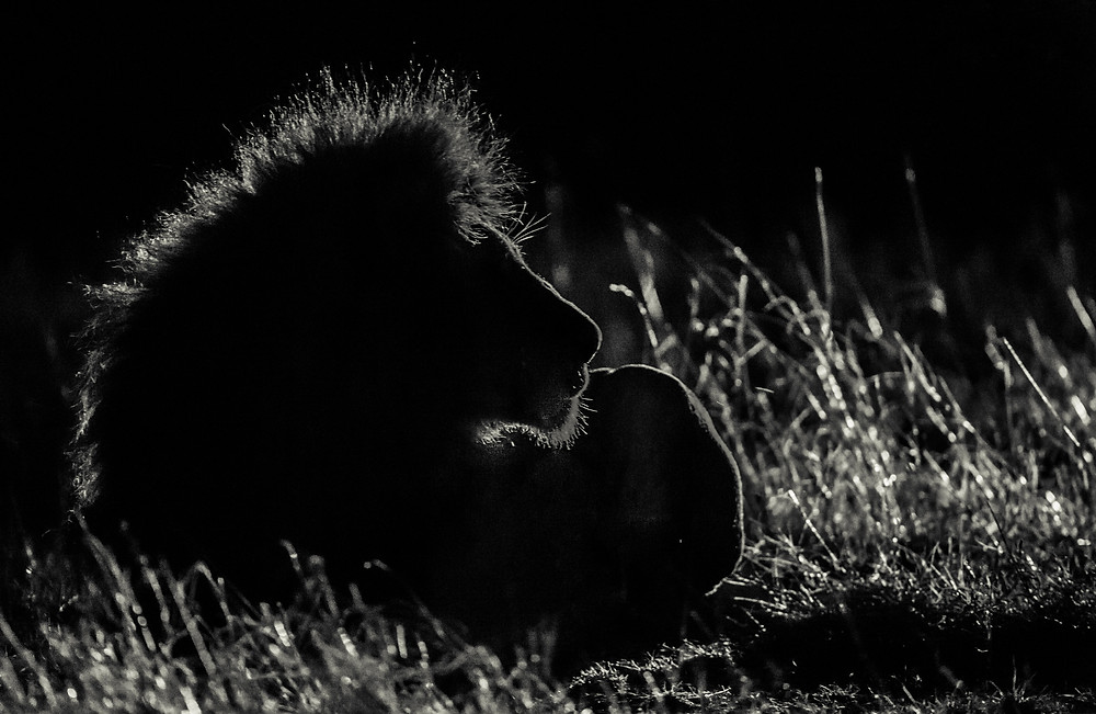 On a night drive with a large male lion in the head lights
