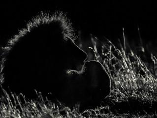 Dark Lions