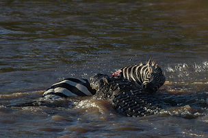 www.davesimpsonsafaris.com, Kenya, camping, safari, great, fun, private, exclusive, croc, zebra, fight, Maasai Mara.