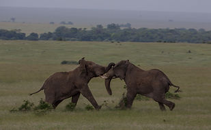 Elephants, fighting, musth, male, Kenya, green, grass, short, Maasai, www.davesimpsonsafaris.com
