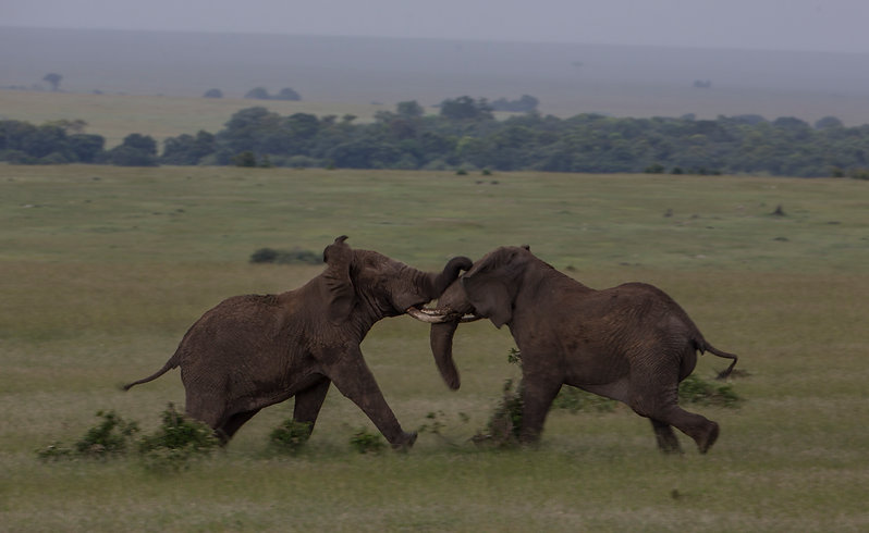 Elephants, fight, Maasai Mara, Kenya, www.davesimpsonkenya@gmail.com