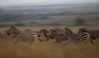 www.davesimpsonsafaris.com, Kenya, camping, safari, great, fun, private, exclusive, zebra, running, Maasai Mara.