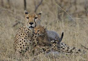 cheatah, young, Maasai Mara, Kenya, www.davesimpsonsafaris.com, camping, safari