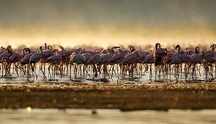 Nakuru, flamingos - www.davesimpsonsafaris.com, camping,  Kenya