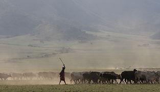 www.davesimpsonsafaris.com, Tanzania, safari, adventure, fun, wildebeest, grass, space, vast, Maasai, cattle