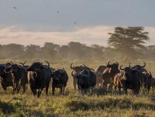The Buffalo of Kimana