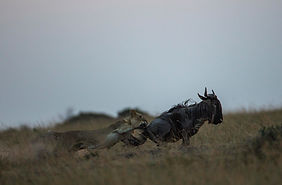 "www.davesimpsonsafaris.com, Kenya, camping, safari, great, fun, private, exclusive,  ""The Hunt"", Maasai Mara."