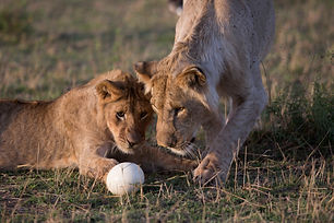 lions, playing, ostrich egg, safari Maasai Mara, Kenya, www.davesimpsonsafaris.com, camping