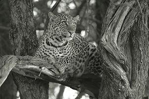 www.davesimpsonsafaris.com, leopard, Maasai Mara, Kenya, camping, safari.