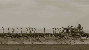 ostrich, run, running, young, vehicle, Amboseli, Kenya, safari, fun, www.davesimpsonsafaris.com