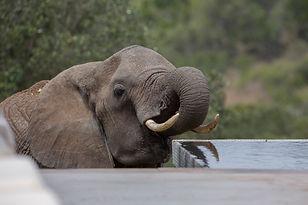 Arijiju House, www.davesimpsonsafaris.com, elephant, drinking, pool, Borana, Kenya, safari.
