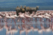 zebra, flamingos, water, lake Nakuru, Kenya, Rift valley, www.davesimpsonsafaris.com