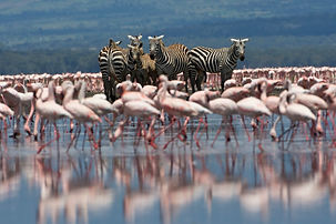 zebra, flamingos, water, lake Nakuru, Kenya, Rift valley, www.davesimpsonsafaris.com