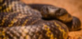 snake Australian reptile predator snakes