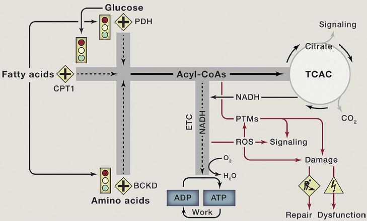 metabolic-gridlock.png