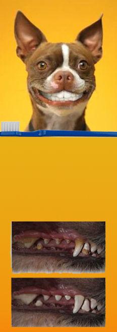 cute dog ,with clean teeth