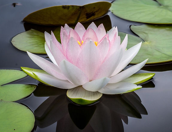 Water%20Lily_edited.jpg