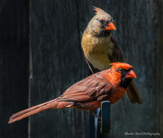 Male & Female Northern Cardinals