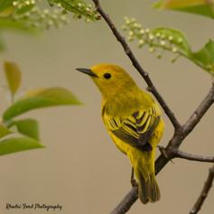 18-05-21 Yellow Warbler-3.jpg