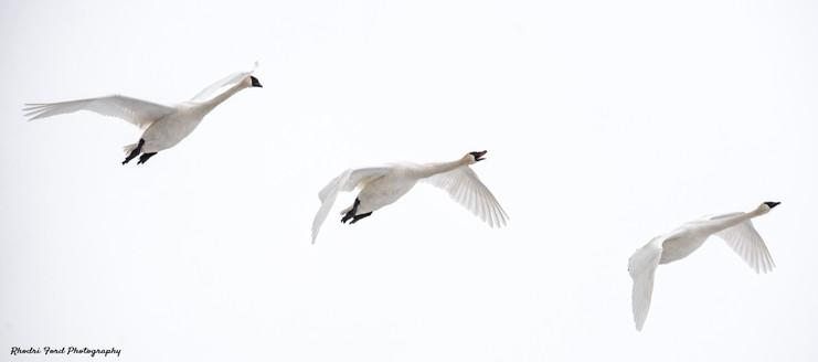 Swan 3.jpg