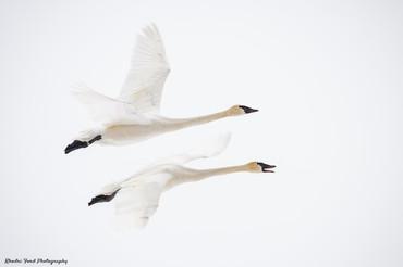Swan 4.jpg
