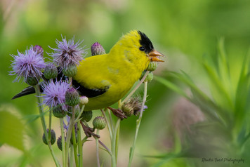 American Goldfinch In The Thistles