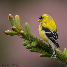 18-05-20 Goldfinch with Blossom Background-6.jpg