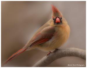 Female Cardinal RBG Arboretum.jpg