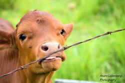 Friendly calf near The Farmhouse