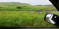 Zebra family at Loch Heron
